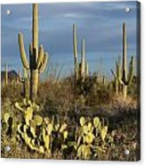 Suguaros At Sunset Acrylic Print
