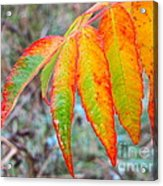 Sumac Leaves After The Rainfall Acrylic Print