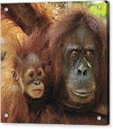 Sumatran Orangutan Pongo Abelii Mother Acrylic Print