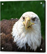 Summer Bald Eagle  Acrylic Print