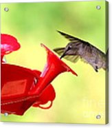 Summer Fun Hummingbird Acrylic Print