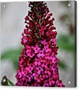 Summer Lilac Acrylic Print