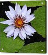 Summer Lily Acrylic Print