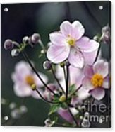 Summer Softness Acrylic Print