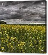 Summer Storm Clouds Over A Canola Field Acrylic Print