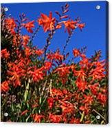 Montbretia, Summer Wildflowers Acrylic Print