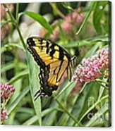 Summer's Flying Tiger  Acrylic Print