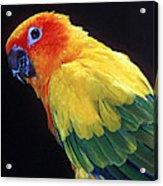 Sun Conure Acrylic Print