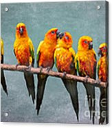 Sun Conures Acrylic Print