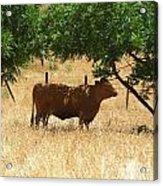Sun Dappled Cow Acrylic Print