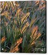 Sun Kissed Grass Acrylic Print