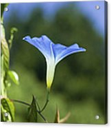 Sun On Morning Glory Acrylic Print