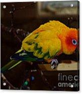 Sun Parrot Acrylic Print
