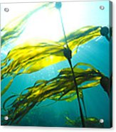 Sun Shines Through Bull Kelp Acrylic Print