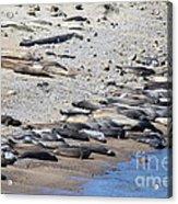 Sunbathing Elephant Seals Along A Beach At Point Reyes California . 7d16065 Acrylic Print