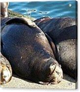 Sunbathing Sea Lions Acrylic Print