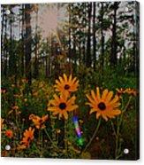 Sunburst On Sunflowers Acrylic Print