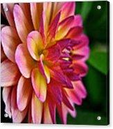 Sundown Dahlia Acrylic Print