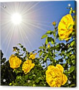 Sunflare And Yellow Roses Acrylic Print by Amber Flowers