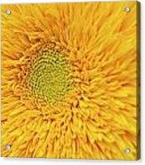 Sunflower 2881 Acrylic Print