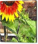 Sunflower 3 Sf3wc Acrylic Print