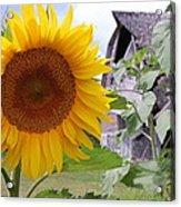 Sunflower And Barn Acrylic Print