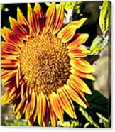 Sunflower And Bud Acrylic Print