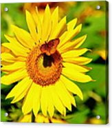 Sunflower And Butterfly Acrylic Print