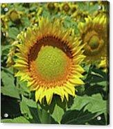 Sunflower And Honeybee July Two K O Nine Acrylic Print