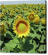 Sunflower And Honeybees July Two K O Nine  II Acrylic Print