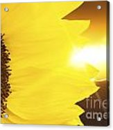 Sunflower And Sunset Acrylic Print