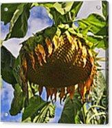 Sunflower At Fall Acrylic Print