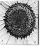 Sunflower Center Black And White Acrylic Print