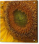 Sunflower Closeup Acrylic Print