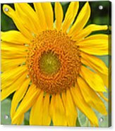 Sunflower Days Acrylic Print