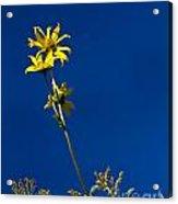 Sunflower Delight Acrylic Print