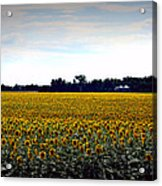 Sunflower Farm In North Dakota Acrylic Print