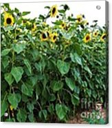 Sunflower Fields Forever   Four Acrylic Print