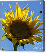Sunflower For Snack Acrylic Print