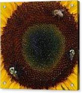 Sunflower Gathering Acrylic Print