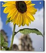 Sunflower In Balboa Park Acrylic Print
