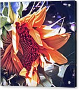 Sunflower In Bloom  Acrylic Print