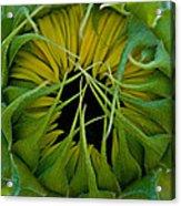 Sunflower Kisses Acrylic Print