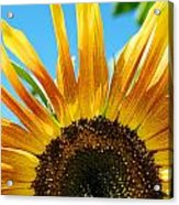 Sunflower Meets Sky Acrylic Print