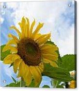 Sunflower Acrylic Print