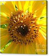Sunflower No.10 Acrylic Print