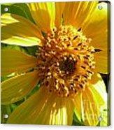 Sunflower No.11 Acrylic Print