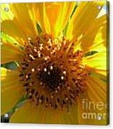 Sunflower No.15 Acrylic Print