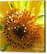 Sunflower No.16 Acrylic Print
