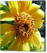 Sunflower No.19 Acrylic Print